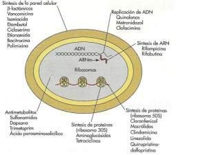 mecanismo de accion delos antibioticos