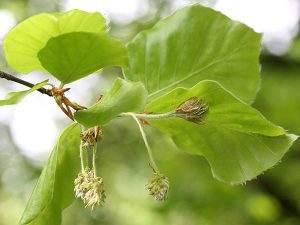 flores de bach infecciones